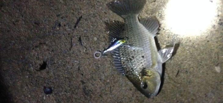 イエローチーク 鱤鱼 釣り ボウズ1