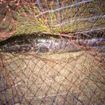 香港ライギョ釣りです。アフリカンクララではありません!!