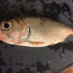台北でパシフィックターポンを釣って食べる。味はうまかった・・・・