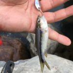 台湾新竹市の油羅溪に倦仔を釣りに行くがタイワンアカハラのみだった