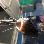 台湾でハマギギ釣れたけど・・・ノーカウントということで