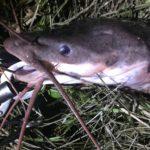 台湾のどぶ川にいる魚クラリアスを釣りました。目指せメーターオーバー!!