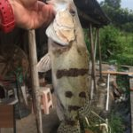 ソウギョをルアーで釣る 復習編