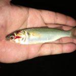 台北の釣り ターポン調査釣行 干潮で釣れるのか?