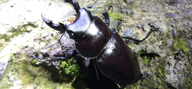 マルバネクワガタを台湾で採集。オオマルバネクワガタとアカマルバネクワガタ