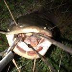 スピンガヴァチョで台湾どぶ川イセゴイが釣れる。微動虫シェイクはトップウォーター最強なのか?