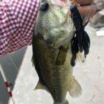 釣りに対する情熱を失っているのか?チャンクローとフリックシェイクで釣り堀バスゲットです。