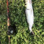 ターポンをトップウォーターで釣る