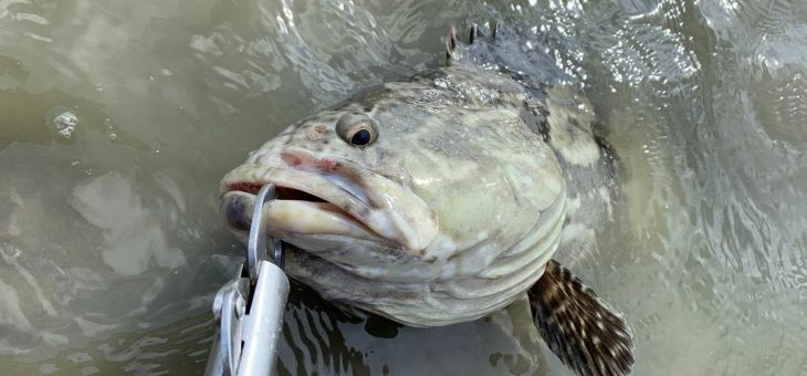 台湾台南グルーパー釣り堀:小芳釣魚池でバラマンディもでかいのが釣れます!!