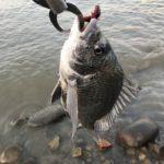 ワームでチヌ釣り、信頼と安定の爆釣ジャッカルルアー使用です。