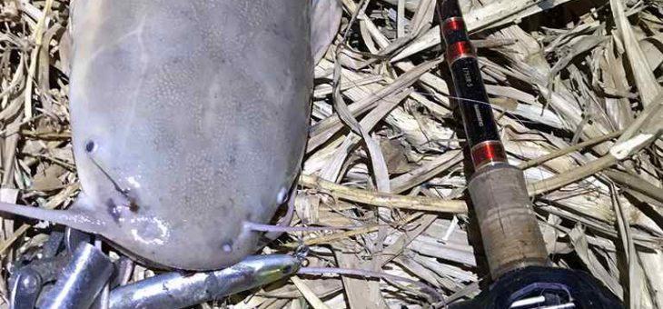 中国のドブでクラリアス釣り、淡水魚ワイルドメーターオーバーを目指して