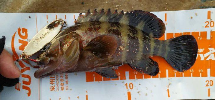 チヌークのフォールで釣りましたニジェールハインドです。